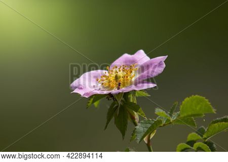 Beautiful Wild Rose Flower On A Blurred Green Background. Rosehip Is A Wild Genus Of Plants Of The R