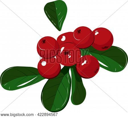 Lingonberry Stock Vector Illustration. Cranberry Berries Close-up, Juicy Northern Vaccinium Vitis-id