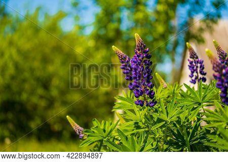 Blooming Purple Lupine In The Garden. Summer Background