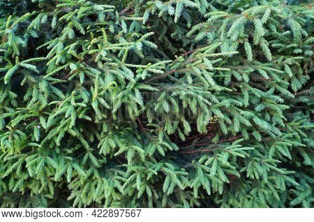 Branches of fir tree growing in forest. Natural green background.