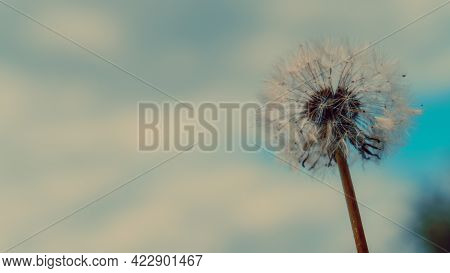 Dandelion Against The Blue Sky And Clouds. Dandelion Seeds In The Summer Flowering Period. Selective