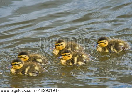 Ducklings Swimming In The Lake.   Burnaby Bc Canada
