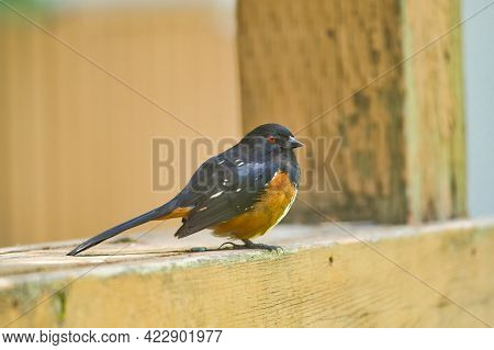 A Closeup Of  Spotted Towhee Sitting On The Fence.    Burnaby Bc Canada