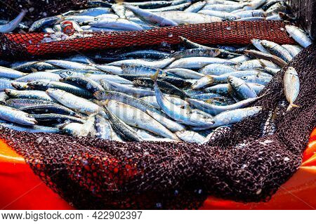 Fish Catch In The Fishing Net . Fresh Catch Atlantic Sardina