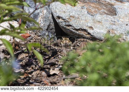 Thirteen-lined Ground Squirrel (ictidomys Tridecemlineatus) In The Garden