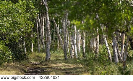 A Softly Focused Image Of Native Bushland With Paperbark Trees In Morning Light