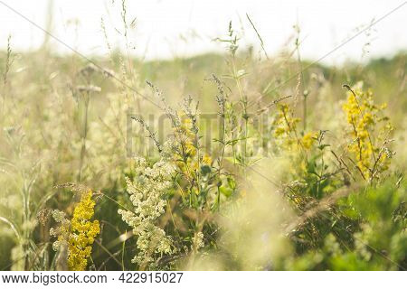 Beautiful Green Grass And Flowers On Field At Summer Day At Sunlight. Green Meadow Fresh Springtime