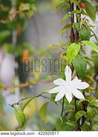 Orange Jessamine, Murraya Paniculate White Flower Blooming In Garden Nature Background
