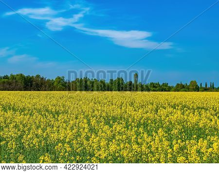 Agricultural Flowering Field Of Yellow Rapeseed In Spring. Brassica Napus. Rapeseed Agricultural Cro