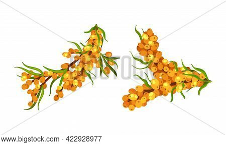 Green Branches Of Sea Buckthorn Berry Cluster Vector Set