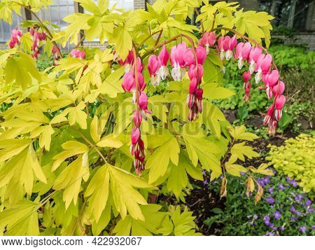 Blooms Of The Bleeding Heart Plant Cultivar (dicentra Spectabilis) 'gold Hearts'. Brilliant Gold Lea