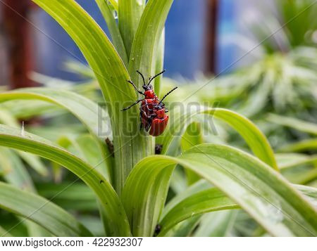 Macro Shot Of Two Adult Scarlet Lily Beetle (lilioceris Lilii) Pair Mating On A Green Lily Plant Lea