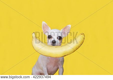 A Charming White Chihuahua Dog Against The Background Of A Yellow Banner Is Carefully Looking At The