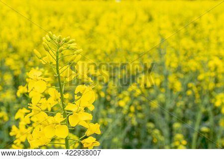 Canola Flower. Rapeseed Plant, Colza Rapeseed For Green Energy. Yellow Rape Flower For Healthy Food
