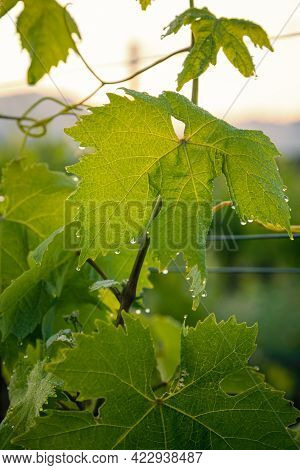 Early Morning Dew And Water Droplets On A Vine Leaf In A Vineyard In Corsica