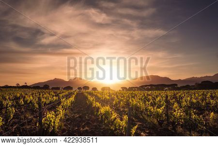Dawn Breaking Over Rows Of Young Vines In A Vineyard In Corsica With Pine Trees And Mountains In The