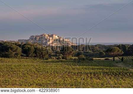 Morning Sun On Rows Of Vines In A Vineyard In The Balagne Region Of Corsica With The Citadel Of Calv