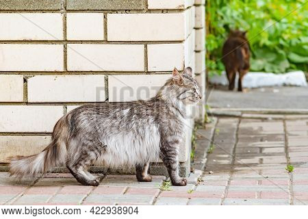 A Wary Gray Striped Fluffy Siberian Cat Stands Near A Brick Wall On The Street Against The Backgroun