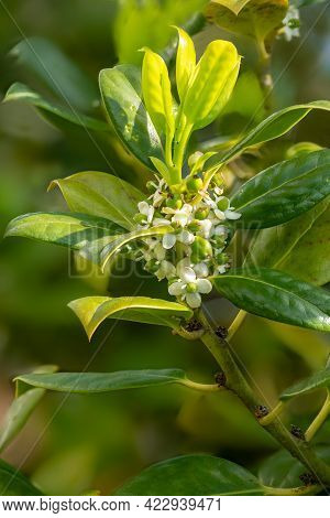 Detail Of The Flower With Fruit Set And Leaves Of The European Holly