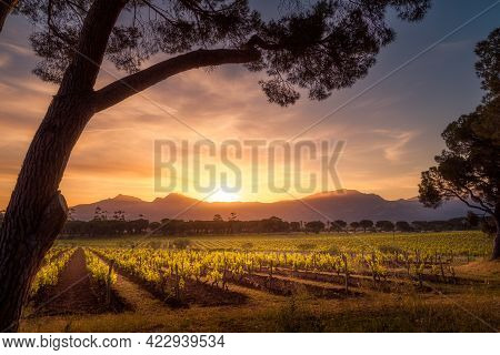 Beautiful Sunrise Over Rws Of Vines In A Vineyard In Corsica With Pine Trees In The Foreground And M