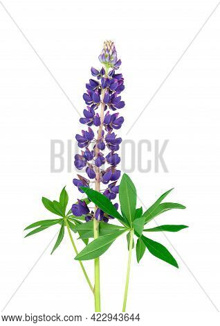 Purple Lupine Isolated On White Background. Lupine Summer Wildflower Bud. Lilac Wild Flower