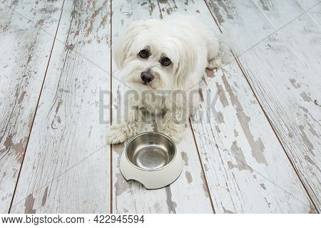Sad Maltese Dog Begging Food Next To An Empty Bowl, Lying Down And Tilting Head Side On Vintage Parq
