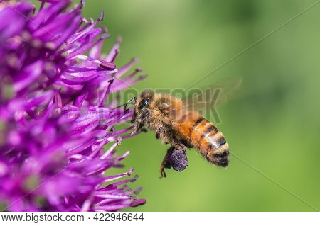 A Honey Bee In Flight And Gathering Pollen From A Purple Allium Flower In Pollen Sacs