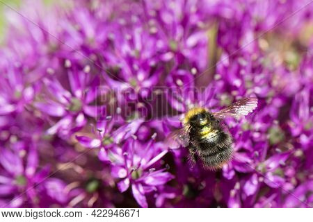 A Busy Honey Bee Gathering Pollen On A Purple Allium Flower With Copy Space