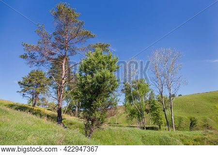 Pines And Different Deciduous Trees Rarely Growing On A Ravine Slope Against Of Clear Sky In Springt