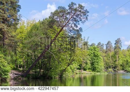 Old Pine Growing On The Shore Of A Forest Lake Among The Other Trees And Strongly Inclined Above The