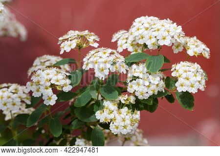 Branch Of Flowering Spiraea, Grefsheim Variety With Clusters Of Small White Flowers On A Red Blurred