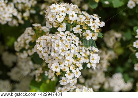 Branch Of Flowering Spiraea With Clusters Of Small White Flowers On A Blurred Background Of The Rest