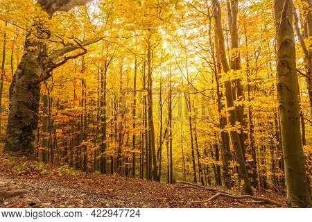 Forest With Trees In Autumn Colors Illuminated By Sunlight.