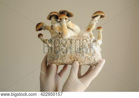 Mycelium Block Of Psilocybin Psychedelic Mushrooms Golden Teacher. Grower Man With Psilocybe Cubensi