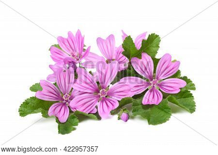 Mallow Flowers Isolated  On A White Background