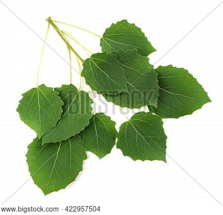 Quaking Aspen Sprig With Leaves Isolated On White Background