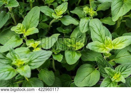 Close-up View Of Fresh Green Leaves Of Oregano Plant, Mediterranean Herbs Full-frame Background