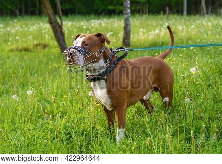 A Brown Pit Bull Dog In A Metal Muzzle, Strogach And Leather Collar Stands Against The Background Of