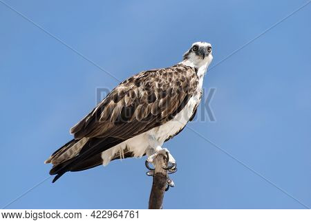 The Close View Of A Bird Of Prey Sitting On A Wooden Pole On Grand Turk Island (turks And Caicos Isl