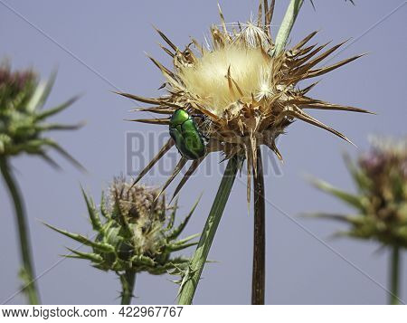 Closeup View Of Rose Chafer Beetle Sitting On Thistle Flower