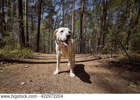 Cheerful Dog On Footpath In Forest. Front View Of Old Labrador During Summer Trip.