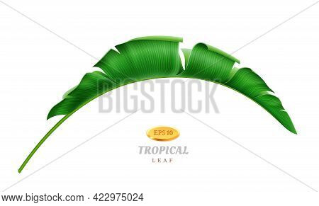 Exotic Flora And Tropical Vegetation, Isolated Bending Leaf Of Palm Or Banana Plant. Hawaiian Paradi