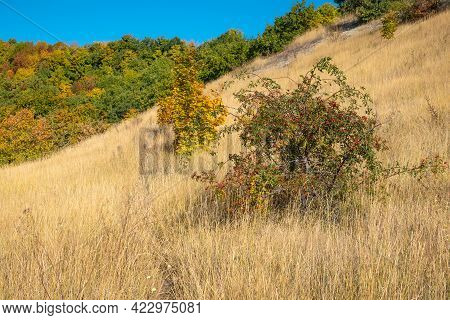 Beautiful Autumn Landscape - Forest And Wild Rose Bushes With Berries On A Hillside On A Sunny Day A