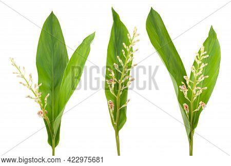 Set Of Galangal Plant Isolated On White Background