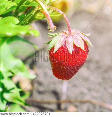 Fresh Beautiful And Delicious Strawberries In The Garden