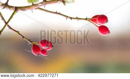 Dog Rose Fruits (rosa Canina) In Nature. Red Rose Hips On Bushes With Blurred Background