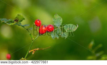 Red Rose Hips On Bushes In Forest On Blurred Background