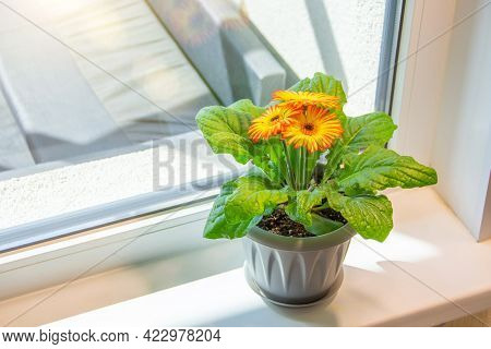 Blooming Two Color Orange Yellow Gerberas In Pots On The Balcony Windowsill Lit By The Sun.
