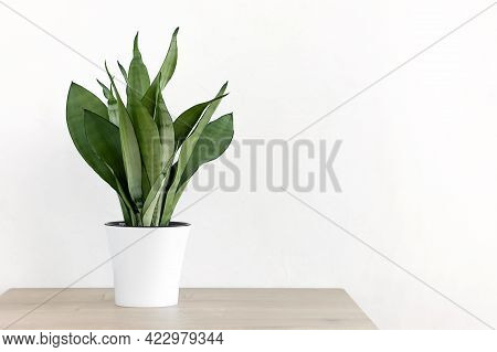 Sansevieria Plant In A Modern Put On A Wooden Table Against A White Wall. Home Plant Sansevieria Tri