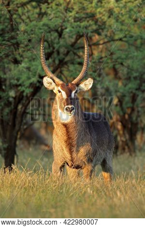 Male waterbuck antelope (Kobus ellipsiprymnus) in late afternoon light, South Africa
